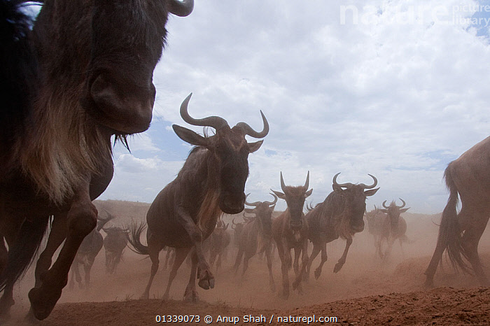 Eastern White-bearded Wildebeest (Connochaetes taurinus) herd running - wide angle perspective Masai Mara National Reserve, Kenya. October  ,  ACTION,BEHAVIOUR,catalogue3,close up,cloudy,dust,front view,Kenya,large group,large group of animals,Masai Mara,National Reserve,Nobody,NP,Remote Camera,RESERVE,SAVANNA,stampede,urgency,VERTEBRATES,Wildebeest,animals in the wild,ARTIODACTYLA,Bovidae,CLOSE UPS,direction,EAST AFRICA,GROUPS,Herds,Horned,low angle view,LOW ANGLE SHOT,MAMMALS,MIGRATION,outdoors,RUNNING,SKY,wide angle view,WILDLIFE,National Park,Grassland  ,  Anup Shah