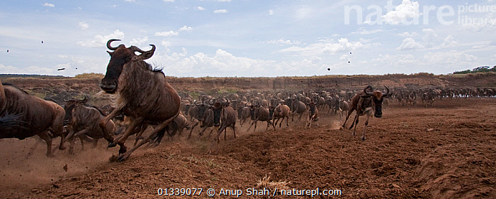 Eastern White-bearded Wildebeest (Connochaetes taurinus) herd running away from the Mara River - wide angle perspective, Masai Mara National Reserve, Kenya. October 2009.  ,  ACTION,ARTIODACTYLA,BEHAVIOUR,BOVIDAE,EAST AFRICA,GROUPS,LARGE GROUP,LOW ANGLE VIEW,LOW ANGLE SHOT,MAMMALS,MIGRATION,MULTITUDE,NP,PANORAMIC,REMOTE CAMERA,RESERVE,RUNNING,SAVANNA,VERTEBRATES,WILDEBEEST,National Park,Grassland  ,  Anup Shah