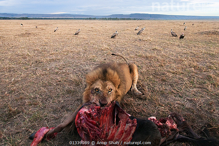 African lion (Panthera leo) feeding on recent kill with vultures gathering in the background - wide angle perspective. Masai Mara National Reserve, Kenya. October 2009.  ,  AFRICA,BEHAVIOUR,BIG CATS,BIRDS,BLOOD,BONES,CARNIVORES,CLOSE UPS,EAST AFRICA,FEEDING,FELIDAE,LANDSCAPES,LIONS,LOW ANGLE VIEW,LOW ANGLE SHOT,MAMMALS,MIXED SPECIES,REMOTE CAMERA,RESERVE,SAVANNA,VERTEBRATES,VULTURES,Grassland  ,  Anup Shah