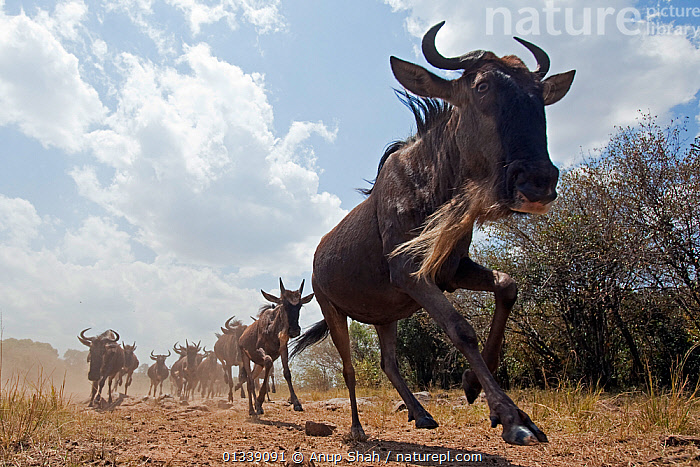 Eastern White-bearded Wildebeest (Connochaetes taurinus) herd running - wide angle perspective, Masai Mara National Reserve, Kenya. August  ,  ACTION,AFRICA,ARTIODACTYLA,BEHAVIOUR,BOVIDAE,CLOSE UPS,EAST AFRICA,GROUPS,HABITAT,LARGE GROUP,LOW ANGLE VIEW,LOW ANGLE SHOT,MAMMALS,MIGRATION,NP,REMOTE CAMERA,RESERVE,RIVERS,RUNNING,SAVANNA,VERTEBRATES,WILDEBEEST,National Park,Grassland  ,  Anup Shah