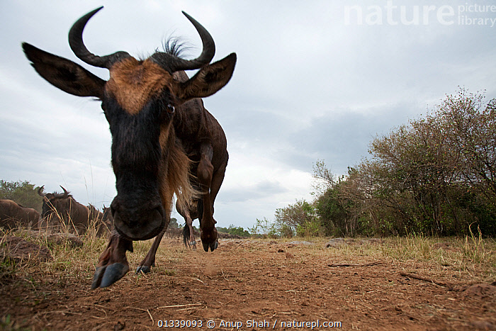 Eastern White-bearded Wildebeest (Connochaetes taurinus) herd running - wide angle perspective, Masai Mara National Reserve, Kenya. August  ,  ACTION,AFRICA,ARTIODACTYLA,BEHAVIOUR,BOVIDAE,CLOSE UPS,EAST AFRICA,LOW ANGLE VIEW,LOW ANGLE SHOT,MAMMALS,MIGRATION,NP,REMOTE CAMERA,RESERVE,RUNNING,SAVANNA,VERTEBRATES,WILDEBEEST,National Park,Grassland  ,  Anup Shah