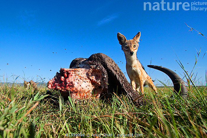 Black-backed jackal (Canis mesomelas) male defending a kill from vultures after lions have finished - wide angle perspective, Masai Mara National Reserve, Kenya. February  ,  AFRICA,BEHAVIOUR,BONES,CANIDAE,CANIDS,CARNIVORES,DECOMPOSITION,EAST AFRICA,FEEDING,JACKALS,LOW ANGLE SHOT,LOW ANGLE VIEW,LOW ANGLE SHOT,MAMMALS,REMOTE CAMERA,RESERVE,SAVANNA,SCAVANGING,VERTEBRATES,Grassland  ,  Anup Shah