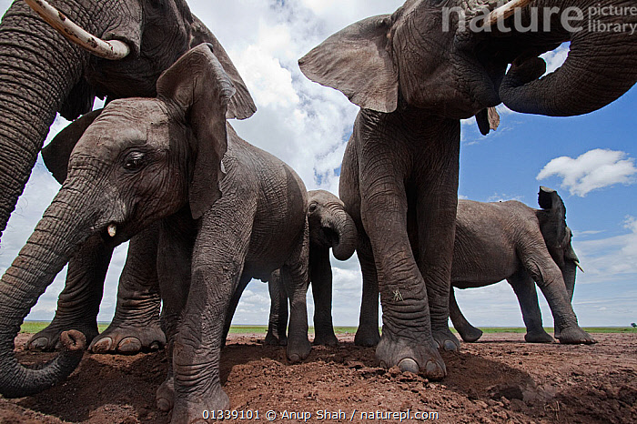 African elephant (Loxodonta africana) group drinking from waterhole - wide angle perspective. Masai Mara National Reserve, Kenya. March  ,  animal family,CLOSE UPS,EAST AFRICA,elephant calf,ELEPHANTS,GROUPS,low angle view,LOW ANGLE SHOT,MAMMALS,medium group,outdoors,wide angle view,WILDLIFE,young animal,AFRICA,BEHAVIOUR,catalogue3,close up,DRINKING,ENDANGERED,Kenya,Masai Mara,medium group of animals,National Reserve,Nobody,proboscidae,PROBOSCIDS,Remote Camera,RESERVE,SAVANNA,Togetherness,VERTEBRATES,WATERHOLE,Grassland,,Personal Point of View,  ,  Anup Shah