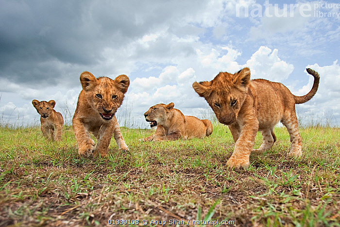 African lion (Panthera leo) cubs aged 6-9 months approaching with curiosity watched by their mother, Masai Mara National Reserve, Kenya. February  ,  animal family,BABIES,CLOSE UPS,EAST AFRICA,FAMILIES,four animals,GROUPS,LIONS,looking at camera,low angle view,LOW ANGLE SHOT,MAMMALS,menacing,mother and child,outdoors,personal perspective,SKY,WILDLIFE,young animal,AFRICA,BEHAVIOUR,BIG CATS,CARNIVORES,catalogue3,close up,cloudy,curiosity,Curious,CUTE,felidae,Kenya,lion cub,Masai Mara,National Reserve,Nobody,Ominous,prowling,Remote Camera,RESERVE,SAVANNA,small group,small group of animals,VERTEBRATES,watching,Grassland  ,  Anup Shah