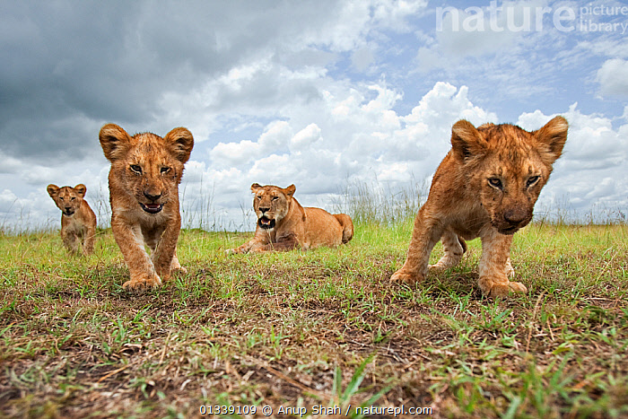 African lion (Panthera leo) cubs aged 6-9 months approaching with curiosity watched by their mother, Masai Mara National Reserve, Kenya. February  ,  AFRICA,BABIES,BEHAVIOUR,BIG CATS,CARNIVORES,CLOSE UPS,CURIOUS,CUTE,EAST AFRICA,FELIDAE,LIONS,LOW ANGLE VIEW,LOW ANGLE SHOT,MAMMALS,REMOTE CAMERA,RESERVE,SAVANNA,VERTEBRATES,Grassland  ,  Anup Shah