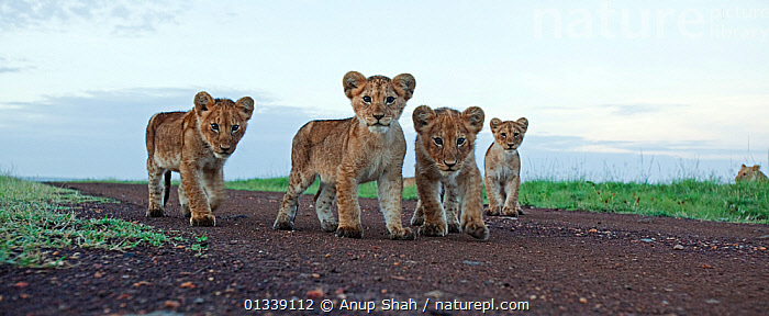 African lion (Panthera leo) four cubs aged 3-6 months walking along track, Masai Mara National Reserve, Kenya. February  ,  AFRICA,BABIES,BEHAVIOUR,BIG CATS,CARNIVORES,CUTE,EAST AFRICA,FELIDAE,LIONS,LOW ANGLE VIEW,LOW ANGLE SHOT,MAMMALS,PANORAMIC,REMOTE CAMERA,RESERVE,SAVANNA,SMALL GROUP,VERTEBRATES,Grassland  ,  Anup Shah