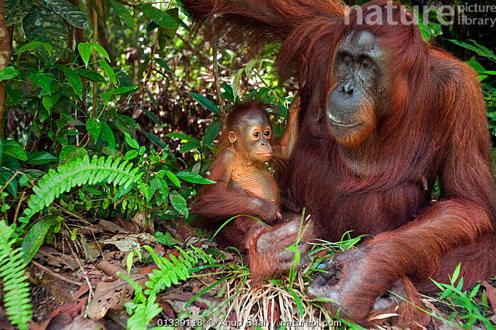 Bornean Orangutan (Pongo pygmaeus wurmbii)  female 'Tutut' and baby son 'Thor' aged 8-9 months resting on the forest floor - wide angle perspective. Camp Leakey, Tanjung Puting National Park, Central Kalimantan, Borneo, Indonesia. June 2010. Rehabilitated and released (or descended from) between 1971 and 1995.  ,  ASIA,BEHAVIOUR,CONSERVATION,CUTE,ENDANGERED,FORESTS,GREAT APES,HABITAT,INDONESIA,JUVENILE,MAMMALS,MOTHER BABY,NP,ORANGUTAN,PRIMATES,REHABILITATION,RESERVE,SOUTH EAST ASIA,TROPICAL RAINFOREST,National Park  ,  Anup Shah