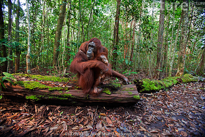 Bornean Orangutan (Pongo pygmaeus wurmbii)  female 'Tutut' and baby son 'Thor' aged 8-9 months resting on the forest floor - wide angle perspective. Camp Leakey, Tanjung Puting National Park, Central Kalimantan, Borneo, Indonesia. June 2010. Rehabilitated and released (or descended from) between 1971 and 1995.  ,  ASIA,CONSERVATION,CUTE,ENDANGERED,EXPRESSIONS,FORESTS,GREAT APES,HABITAT,INDONESIA,JUVENILE,MAMMALS,MOTHER BABY,NP,ORANGUTAN,PRIMATES,REHABILITATION,RESERVE,SOUTH EAST ASIA,TROPICAL RAINFOREST,National Park  ,  Anup Shah