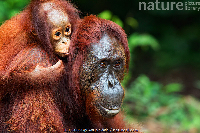 Bornean Orangutan (Pongo pygmaeus wurmbii) female 'Gara' carrying her daughter 'Gita' aged 2 years portrait. Camp Leakey, Tanjung Puting National Park, Central Kalimantan, Borneo, Indonesia. June 2010. Rehabilitated and released (or descended from) between 1971 and 1995.  ,  ASIA,ENDANGERED,FORESTS,GREAT APES,HABITAT,INDONESIA,MAMMALS,MOTHER BABY,NP,ORANGUTAN,PORTRAITS,PRIMATES,REHABILITATION,RESERVE,SOUTH EAST ASIA,TROPICAL RAINFOREST,National Park  ,  Anup Shah