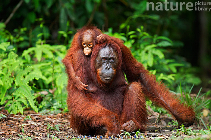 Bornean Orangutan (Pongo pygmaeus wurmbii) female 'Gara' and her daughter 'Gita' aged 2 years portrait. Camp Leakey, Tanjung Puting National Park, Central Kalimantan, Borneo, Indonesia. June 2010. Rehabilitated and released (or descended from) between 1971 and 1995.  ,  ASIA,CONSERVATION,ENDANGERED,FORESTS,GREAT APES,HABITAT,INDONESIA,MAMMALS,MOTHER BABY,NP,ORANGUTAN,PRIMATES,REHABILITATION,RESERVE,SOUTH EAST ASIA,TROPICAL RAINFOREST,National Park  ,  Anup Shah