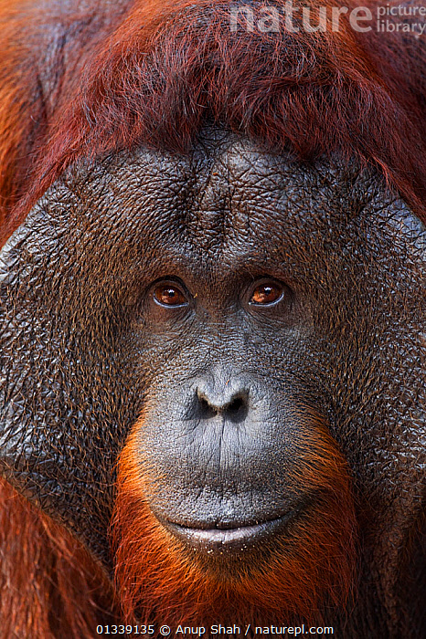 Bornean Orangutan (Pongo pygmaeus wurmbii) mature male 'Doyok' head portrait. Pondok Tanggui, Tanjung Puting National Park, Central Kalimantan, Borneo, Indonesia. June 2010. Rehabilitated and released (or descended from) between 1971 and 1995.  ,  ASIA,CONSERVATION,ENDANGERED,EXPRESSIONS,FACES,GREAT APES,INDONESIA,MALES,MAMMALS,NP,ORANGUTAN,PORTRAITS,PRIMATES,REHABILITATION,RESERVE,SOUTH EAST ASIA,TROPICAL RAINFOREST,VERTICAL,National Park  ,  Anup Shah