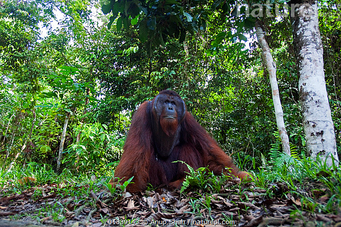 Bornean Orangutan (Pongo pygmaeus wurmbii) mature male 'Tom' sitting on the forest floor - wide angle perspective. Camp Leakey, Tanjung Puting National Park, Central Kalimantan, Borneo, Indonesia. June 2010. Rehabilitated and released (or descended from) between 1971 and 1995.  ,  ASIA,CONSERVATION,ENDANGERED,FORESTS,GREAT APES,HABITAT,INDONESIA,LOW ANGLE SHOT,MALES,MAMMALS,NP,ORANGUTAN,PRIMATES,REHABILITATION,RESERVE,SOUTH EAST ASIA,TROPICAL RAINFOREST,National Park  ,  Anup Shah