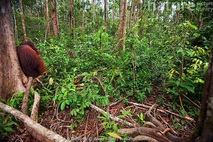 Bornean Orangutan (Pongo pygmaeus wurmbii) mature male 'Tom' resting on a branch in the forest - wide angle perspective. Camp Leakey, Tanjung Puting National Park, Central Kalimantan, Borneo, Indonesia. June 2010. Rehabilitated and released (or descended from) between 1971 and 1995.  ,  ASIA,CONSERVATION,ENDANGERED,FORESTS,GREAT APES,HABITAT,INDONESIA,MALES,MAMMALS,NP,ORANGUTAN,PRIMATES,REHABILITATION,RESERVE,SOUTH EAST ASIA,TROPICAL RAINFOREST,National Park  ,  Anup Shah