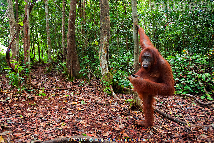 Bornean Orangutan (Pongo pygmaeus wurmbii) female 'Linda' standing supported by a tree - wide angle perspective. Pondok Tanggui, Tanjung Puting National Park, Central Kalimantan, Borneo, Indonesia. June 2010. Rehabilitated and released (or descended from) between 1971 and 1995.  ,  ASIA,CONSERVATION,ENDANGERED,FORESTS,GREAT APES,HABITAT,INDONESIA,LOOKING AT CAMERA,MAMMALS,NP,ORANGUTAN,PRIMATES,REHABILITATION,RESERVE,SOUTH EAST ASIA,TROPICAL RAINFOREST,National Park  ,  Anup Shah