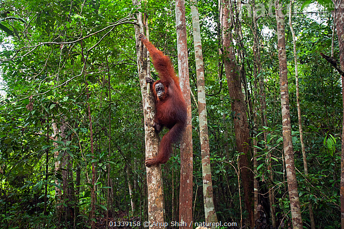 Bornean Orangutan (Pongo pygmaeus wurmbii) female 'Monty' coming down a tree - wide angle perspective. Pondok Tanggui, Tanjung Puting National Park, Central Kalimantan, Borneo, Indonesia. June 2010. Rehabilitated and released (or descended from) between 1971 and 1995.  ,  ASIA,BEHAVIOUR,CLIMBING,CONSERVATION,ENDANGERED,FEMALES,FORESTS,GREAT APES,HABITAT,INDONESIA,MAMMALS,NP,ORANGUTAN,PRIMATES,REHABILITATION,RESERVE,SOUTH EAST ASIA,TROPICAL RAINFOREST,National Park  ,  Anup Shah