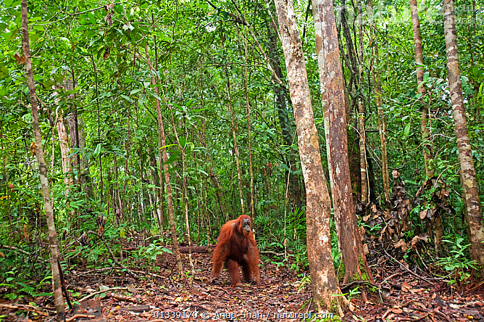 Bornean Orangutan (Pongo pygmaeus wurmbii) female 'Monty' emerging from the forest - wide angle perspective. Pondok Tanggui, Tanjung Puting National Park, Central Kalimantan, Borneo, Indonesia. June 2010. Rehabilitated and released (or descended from) between 1971 and 1995.  ,  ASIA,CONSERVATION,ENDANGERED,FORESTS,GREAT APES,HABITAT,INDONESIA,MAMMALS,NP,ORANGUTAN,PRIMATES,REHABILITATION,RESERVE,SOUTH EAST ASIA,TROPICAL RAINFOREST,National Park  ,  Anup Shah