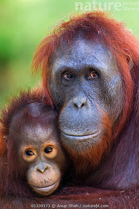 Bornean Orangutan (Pongo pygmaeus wurmbii) female 'Unyuk' cuddling her daughter 'Ursula' aged 4 - portrait. Camp Leakey, Tanjung Puting National Park, Central Kalimantan, Borneo, Indonesia. June 2010. Rehabilitated and released (or descended from) between 1971 and 1995.  ,  AFFECTIONATE,ASIA,CONSERVATION,ENDANGERED,FACES,GREAT APES,INDONESIA,MAMMALS,MOTHER BABY,NP,ORANGUTAN,PARENTAL,PORTRAITS,PRIMATES,REHABILITATION,RESERVE,SOUTH EAST ASIA,TROPICAL RAINFOREST,VERTICAL,National Park  ,  Anup Shah