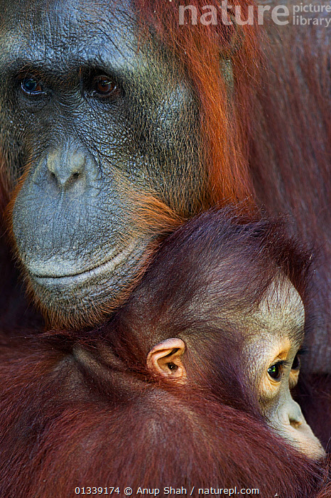Bornean Orangutan (Pongo pygmaeus wurmbii) female 'Unyuk' cuddling her daughter 'Ursula' aged 4 - portrait. Camp Leakey, Tanjung Puting National Park, Central Kalimantan, Borneo, Indonesia. June 2010. Rehabilitated and released (or descended from) between 1971 and 1995.  ,  AFFECTIONATE,ASIA,BEHAVIOUR,CONSERVATION,CUTE,ENDANGERED,FACES,FULL FRAME,GREAT APES,INDONESIA,MAMMALS,MOTHER BABY,NP,ORANGUTAN,PARENTAL,PORTRAITS,PRIMATES,REHABILITATION,RESERVE,SOUTH EAST ASIA,TROPICAL RAINFOREST,VERTICAL,National Park  ,  Anup Shah