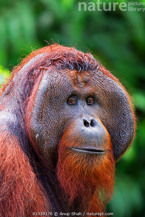 Bornean Orangutan (Pongo pygmaeus wurmbii) mature male 'Tom' head and shoulders portrait. Camp Leakey, Tanjung Puting National Park, Central Kalimantan, Borneo, Indonesia. June 2010. Rehabilitated and released (or descended from) between 1971 and 1995.  ,  ASIA,CONSERVATION,ENDANGERED,EXPRESSIONS,FACES,GREAT APES,INDONESIA,MALES,MAMMALS,NP,ORANGUTAN,PORTRAITS,PRIMATES,REHABILITATION,RESERVE,SOUTH EAST ASIA,TROPICAL RAINFOREST,VERTICAL,National Park  ,  Anup Shah