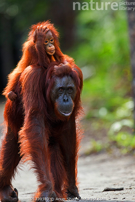 Bornean Orangutan (Pongo pygmaeus wurmbii) female 'Gara' carrying her baby 'Gita' aged 2 years walking down a trail. Camp Leakey, Tanjung Puting National Park, Central Kalimantan, Borneo, Indonesia. June 2010. Rehabilitated and released (or descended from) between 1971 and 1995.  ,  ASIA,BEHAVIOUR,BOREDOM,CONSERVATION,CUTE,ENDANGERED,EXPRESSIONS,GREAT APES,HUMOROUS,INDONESIA,MAMMALS,MOTHER BABY,NP,ORANGUTAN,PARENTAL,PRIMATES,REHABILITATION,RESERVE,SOUTH EAST ASIA,TROPICAL RAINFOREST,VERTICAL,Concepts,National Park  ,  Anup Shah
