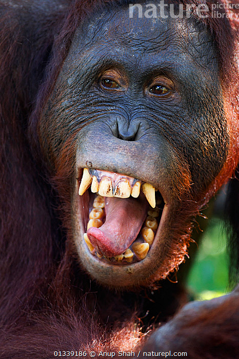 Bornean Orangutan (Pongo pygmaeus wurmbii) sub-adult male 'Pan' yawning - head portrait. Camp Leakey, Tanjung Puting National Park, Central Kalimantan, Borneo, Indonesia. June 2010. Rehabilitated and released (or descended from) between 1971 and 1995.  ,  ASIA,CONSERVATION,ENDANGERED,FACES,FULL FRAME,GREAT APES,INDONESIA,MAMMALS,NP,ORANGUTAN,PORTRAITS,PRIMATES,REHABILITATION,RESERVE,SOUTH EAST ASIA,TEETH,TONGUES,TROPICAL RAINFOREST,VERTICAL,National Park  ,  Anup Shah