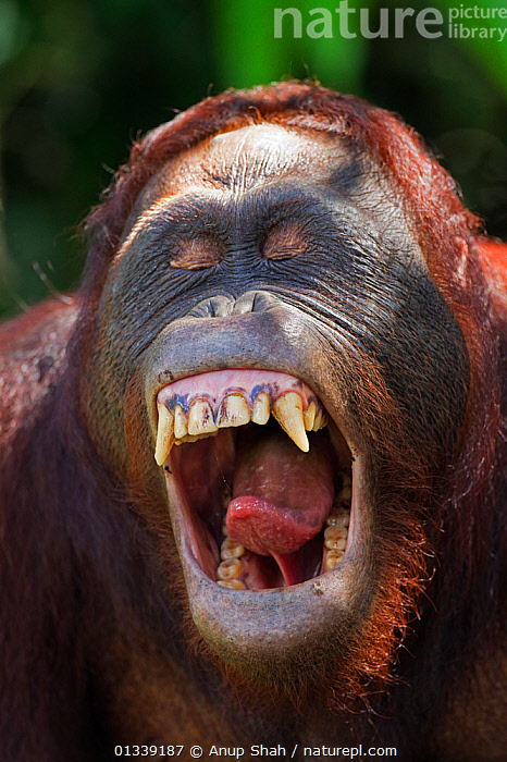 Bornean Orangutan (Pongo pygmaeus wurmbii) sub-adult male 'Pan' yawning - head portrait. Camp Leakey, Tanjung Puting National Park, Central Kalimantan, Borneo, Indonesia. June 2010. Rehabilitated and released (or descended from) between 1971 and 1995.  ,  ASIA,CONSERVATION,ENDANGERED,FACES,GREAT APES,INDONESIA,MALES,MAMMALS,MOUTH,NP,ORANGUTAN,PORTRAITS,PRIMATES,REHABILITATION,RESERVE,SOUTH EAST ASIA,TEETH,TONGUE,TROPICAL RAINFOREST,VERTICAL,National Park  ,  Anup Shah