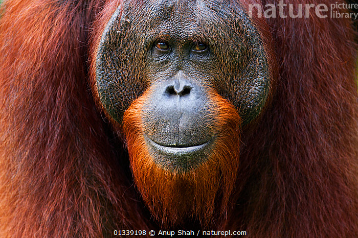 Bornean Orangutan (Pongo pygmaeus wurmbii) young mature male 'Gary' aged 16 years portrait. Camp Leakey, Tanjung Puting National Park, Central Kalimantan, Borneo, Indonesia. July 2010. Rehabilitated and released (or descended from) between 1971 and 1995.  ,  animal portrait,ASIA,Bearded,borneo,Camp Leakey,catalogue3,Central Kalimantan,close up,ENDANGERED,front view,HEADS,INDONESIA,MALES,Nobody,NP,ORANGUTAN,REHABILITATION,RESERVE,SMILING,SOUTH EAST ASIA,Tanjung Puting National Park,TROPICAL RAINFOREST,animal head,animal protection,CLOSE UPS,FACES,facial expression,full frame,GREAT APES,looking at camera,MAMMALS,one animal,outdoors,PORTRAITS,PRIMATES,WILDLIFE,National Park  ,  Anup Shah