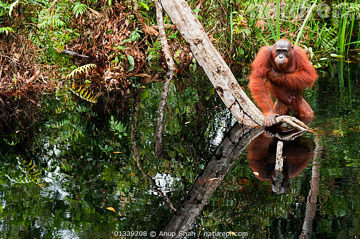 Bornean Orangutan (Pongo pygmaeus wurmbii) sub-adult male wading through water taking care to keep his balance as he is unable to swim. Camp Bulu, Lamandau Nature Reserve, Central Kalimantan, Borneo, Indonesia. July 2010. Rehabilitated and released (or descended from) since 1998.  ,  ASIA,BEHAVIOUR,CONSERVATION,ENDANGERED,FORESTS,GREAT APES,HABITAT,INDONESIA,MAMMALS,NP,ORANGUTAN,PRIMATES,REHABILITATION,RESERVE,RIVERS,SOUTH EAST ASIA,TROPICAL RAINFOREST,WATER,National Park  ,  Anup Shah