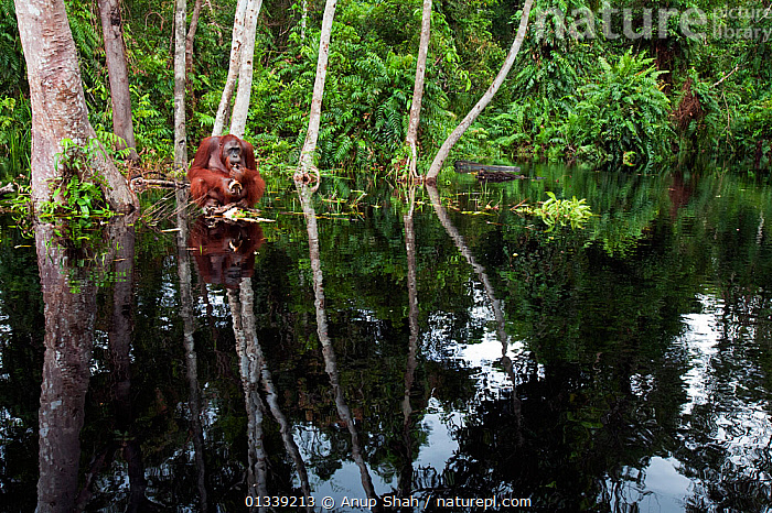 Bornean Orangutan (Pongo pygmaeus wurmbii) sub-adult male 'Oman' sitting on a clump of vegetation in the river feeding - wide angle perspective. Camp Bulu, Lamandau Nature Reserve, Central Kalimantan, Borneo, Indonesia. July 2010. Rehabilitated and released (or descended from) since 1998.  ,  animal protection,FORESTS,GREAT APES,Lamandau Nature Reserve,MAMMALS,one animal,outdoors,PRIMATES,REFLECTIONS,SITTING,solitary,tranquil,TREES,treetrunk,WATER,wide angle view,WILDLIFE,ASIA,BEHAVIOUR,borneo,Camp Bulu,catalogue3,Central Kalimantan,CONSERVATION,ENDANGERED,FEEDING,HABITAT,INDONESIA,male animal,MALES,Nobody,NP,ORANGUTAN,RESERVE,river,SOUTH EAST ASIA,TROPICAL RAINFOREST,vegetation,woodland,National Park,PLANTS  ,  Anup Shah
