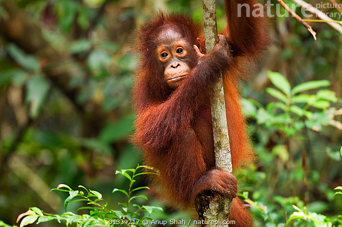 Bornean Orangutan (Pongo pygmaeus wurmbii) female baby 'Putri' aged 2 years clinging to a tree - portrait. Camp Leakey, Tanjung Puting National Park, Central Kalimantan, Borneo, Indonesia. July 2010. Rehabilitated and released (or descended from) between 1971 and 1995.  ,  ASIA,BEHAVIOUR,CLIMBING,CONSERVATION,CUTE,ENDANGERED,FORESTS,GREAT APES,HABITAT,INDONESIA,JUVENILE,MAMMALS,NP,ORANGUTAN,PRIMATES,RESERVE,SOUTH EAST ASIA,TROPICAL RAINFOREST,National Park  ,  Anup Shah