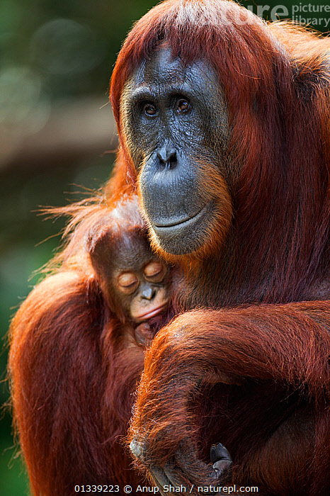 Bornean Orangutan (Pongo pygmaeus wurmbii) female 'Tutut' sitting with her sleeping baby 'Thor' aged 8-9 months. Camp Leakey, Tanjung Puting National Park, Central Kalimantan, Borneo, Indonesia. July 2010. Rehabilitated and released (or descended from) between 1971 and 1995.  ,  animal protection,CLOSE UPS,FACES,facial expression,female animal,GREAT APES,MAMMALS,outdoors,PRIMATES,protection,SITTING,two animals,VERTICAL,WILDLIFE,young animal,animal portrait,ASIA,borneo,Camp Leakey,catalogue3,Central Kalimantan,close up,CONSERVATION,ENDANGERED,FEMALES,front view,INDONESIA,MOTHER BABY,Nobody,NP,ORANGUTAN,PARENTAL,RESERVE,SLEEPING,SMILING,SOUTH EAST ASIA,Tanjung Puting National Park,Togetherness,TROPICAL RAINFOREST,National Park  ,  Anup Shah