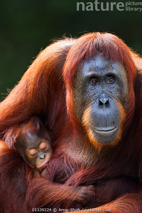 Bornean Orangutan (Pongo pygmaeus wurmbii) female 'Tutut' sitting with her sleeping baby 'Thor' aged 8-9 months. Camp Leakey, Tanjung Puting National Park, Central Kalimantan, Borneo, Indonesia. July 2010. Rehabilitated and released (or descended from) between 1971 and 1995.  ,  ASIA,CONSERVATION,ENDANGERED,EXPRESSIONS,FACES,GREAT APES,INDONESIA,MAMMALS,MOTHER BABY,NP,ORANGUTAN,PARENTAL,PRIMATES,RESERVE,SOUTH EAST ASIA,TROPICAL RAINFOREST,VERTICAL,National Park  ,  Anup Shah