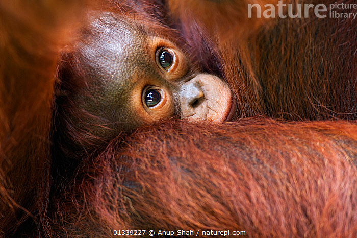 Bornean Orangutan (Pongo pygmaeus wurmbii) male baby 'Thor' aged 8-9 months being cradled by his mother 'Tutut'. Camp Leakey, Tanjung Puting National Park, Central Kalimantan, Borneo, Indonesia. July 2010. Rehabilitated and released (or descended from) between 1971 and 1995.  ,  AFFECTIONATE,ASIA,CONSERVATION,CUTE,ENDANGERED,GREAT APES,INDONESIA,JUVENILE,MAMMALS,MOTHER BABY,NP,ORANGUTAN,PRIMATES,RESERVE,SOUTH EAST ASIA,TROPICAL RAINFOREST,National Park  ,  Anup Shah