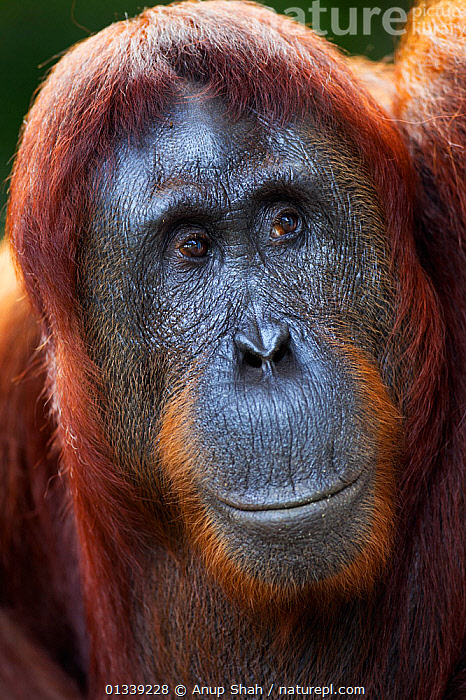 Bornean Orangutan (Pongo pygmaeus wurmbii) female 'Tutut' head portrait. Camp Leakey, Tanjung Puting National Park, Central Kalimantan, Borneo, Indonesia. July 2010. Rehabilitated and released (or descended from) between 1971 and 1995.  ,  ASIA,CONSERVATION,ENDANGERED,FACES,GREAT APES,INDONESIA,MAMMALS,NP,ORANGUTAN,PORTRAITS,PRIMATES,RESERVE,SOUTH EAST ASIA,TROPICAL RAINFOREST,VERTICAL,National Park  ,  Anup Shah