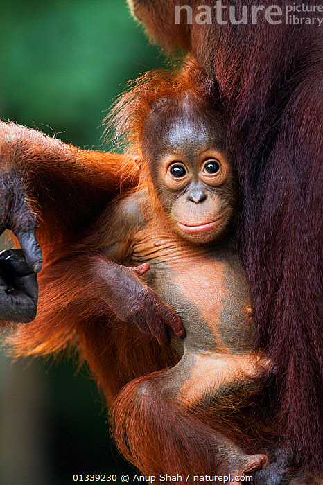 Bornean Orangutan (Pongo pygmaeus wurmbii) male baby 'Thor' aged 8-9 months being cradled by his mother 'Tutut' - portrait. Camp Leakey, Tanjung Puting National Park, Central Kalimantan, Borneo, Indonesia. July 2010. Rehabilitated and released (or descended from) between 1971 and 1995.  ,  ASIA,CONSERVATION,CUTE,ENDANGERED,EXPRESSIONS,GREAT APES,INDONESIA,MAMMALS,MOTHER BABY,NP,ORANGUTAN,PRIMATES,RESERVE,SOUTH EAST ASIA,TROPICAL RAINFOREST,VERTICAL,National Park  ,  Anup Shah