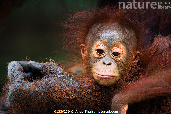 Bornean Orangutan (Pongo pygmaeus wurmbii) male baby 'Thor' aged 8-9 months portrait. Camp Leakey, Tanjung Puting National Park, Central Kalimantan, Borneo, Indonesia. July 2010. Rehabilitated and released (or descended from) between 1971 and 1995.  ,  ASIA,BABIES,ENDANGERED,EXPRESSIONS,FACES,GREAT APES,HANDS,HUMOROUS,INDONESIA,MAMMALS,MOTHER BABY,NP,ORANGUTAN,PRIMATES,RESERVE,SOUTH EAST ASIA,TIRED,TROPICAL RAINFOREST,Concepts,National Park  ,  Anup Shah
