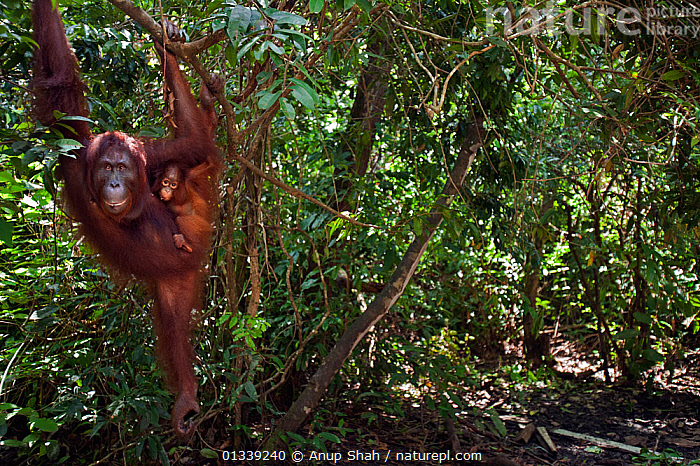 Bornean Orangutan (Pongo pygmaeus wurmbii) female 'Peta' and her daughter 'Petra' aged 12 months hanging from a tree branch - wide angle perspective. Camp Leakey, Tanjung Puting National Park, Central Kalimantan, Borneo, Indonesia. July 2010. Rehabilitated and released (or descended from) between 1971 and 1995.  ,  ASIA,BEHAVIOUR,CLIMBING,CONSERVATION,ENDANGERED,FORESTS,GREAT APES,HABITAT,INDONESIA,MAMMALS,MOTHER BABY,NP,ORANGUTAN,PRIMATES,RESERVE,SOUTH EAST ASIA,TROPICAL RAINFOREST,National Park  ,  Anup Shah