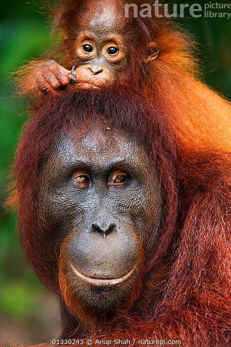 Bornean Orangutan (Pongo pygmaeus wurmbii) female 'Peta' carrying her daughter 'Petra' aged 12 months on her back. Camp Leakey, Tanjung Puting National Park, Central Kalimantan, Borneo, Indonesia. July 2010. Rehabilitated and released (or descended from) between 1971 and 1995.  ,  ASIA,CONSERVATION,ENDANGERED,FACES,GREAT APES,INDONESIA,MAMMALS,MOTHER BABY,NP,ORANGUTAN,PORTRAITS,PRIMATES,RESERVE,SOUTH EAST ASIA,TROPICAL RAINFOREST,VERTICAL,National Park  ,  Anup Shah