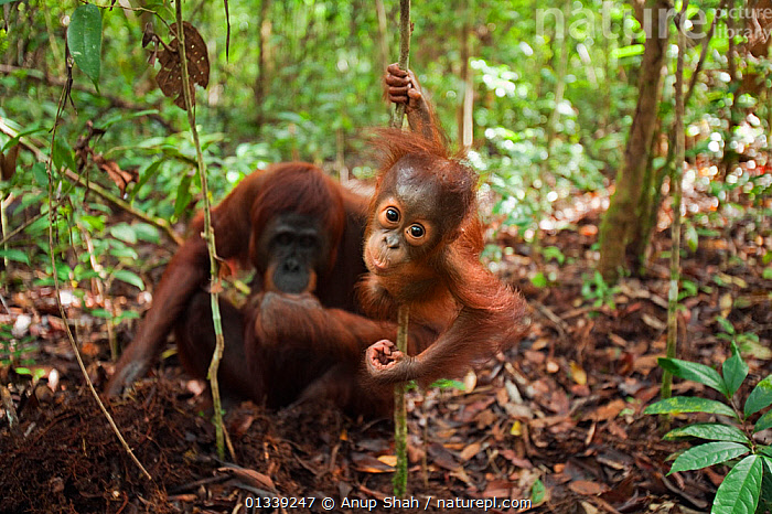 Bornean Orangutan (Pongo pygmaeus wurmbii) male baby 'Thor' aged 8-9 months swinging from a liana while his mother 'Tutut' is digging for roots to eat - wide angle perspective. Camp Leakey, Tanjung Puting National Park, Central Kalimantan, Borneo, Indonesia. July 2010. Rehabilitated and released (or descended from) between 1971 and 1995.  ,  ASIA,BEHAVIOUR,CONSERVATION,ENDANGERED,FORAGING,FORESTS,GREAT APES,HABITAT,INDONESIA,MAMMALS,MOTHER BABY,NP,ORANGUTAN,PRIMATES,RESERVE,SOUTH EAST ASIA,TROPICAL RAINFOREST,National Park  ,  Anup Shah