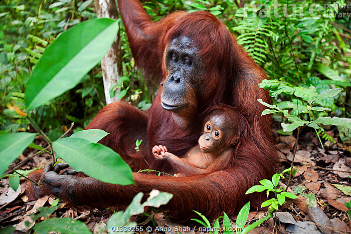 Bornean Orangutan (Pongo pygmaeus wurmbii) female 'Tutut' sitting with her baby son 'Thor' aged 8-9 months - wide angle perspective. Camp Leakey, Tanjung Puting National Park, Central Kalimantan, Borneo, Indonesia. July 2010. Rehabilitated and released (or descended from) between 1971 and 1995.  ,  ASIA,CONSERVATION,ENDANGERED,FORESTS,GREAT APES,HABITAT,INDONESIA,MAMMALS,MOTHER BABY,NP,ORANGUTAN,PRIMATES,RESERVE,SOUTH EAST ASIA,TROPICAL RAINFOREST,National Park  ,  Anup Shah