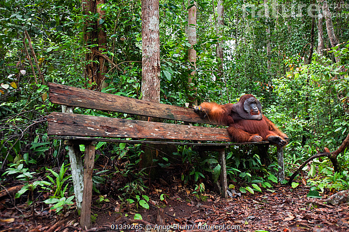 Bornean Orangutan (Pongo pygmaeus wurmbii) mature male 'Doyok' sitting on bench made for tourists - wide angle perspective. Pondok Tanggui, Tanjung Puting National Park, Central Kalimantan, Borneo, Indonesia. June 2010. Rehabilitated and released (or descended from) between 1971 and 1995.  ,  ASIA,ENDANGERED,FORESTS,GREAT APES,HABITAT,HUMOROUS,INDONESIA,MALES,MAMMALS,NP,ORANGUTAN,PRIMATES,RESERVE,SOUTH EAST ASIA,TROPICAL RAINFOREST,Concepts,National Park  ,  Anup Shah