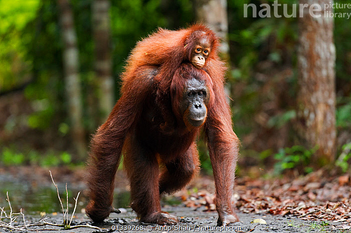 Bornean Orangutan (Pongo pygmaeus wurmbii) female 'Princess' walking along a trail carrying her daughter 'Putri' aged 2 years on her back. Camp Leakey, Tanjung Puting National Park, Central Kalimantan, Borneo, Indonesia. June 2010. Rehabilitated and released (or descended from) between 1971 and 1995.  ,  ASIA,BEHAVIOUR,CONSERVATION,ENDANGERED,GREAT APES,INDONESIA,MAMMALS,MOTHER BABY,NP,ORANGUTAN,PARENTAL,PRIMATES,RESERVE,SOUTH EAST ASIA,TROPICAL RAINFOREST,WALKING,National Park  ,  Anup Shah