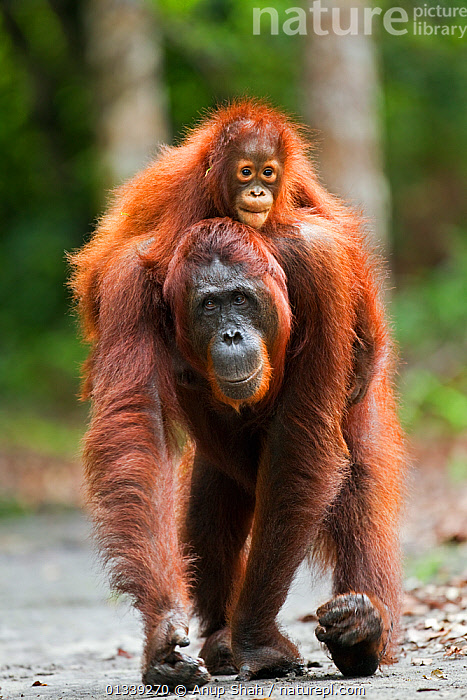 Bornean Orangutan (Pongo pygmaeus wurmbii) female 'Princess' walking along a trail carrying her daughter 'Putri' aged 2 years on her back. Camp Leakey, Tanjung Puting National Park, Central Kalimantan, Borneo, Indonesia. June 2010. Rehabilitated and released (or descended from) between 1971 and 1995.  ,  ASIA,CONSERVATION,CUTE,ENDANGERED,GREAT APES,INDONESIA,MAMMALS,MOTHER BABY,NP,ORANGUTAN,PARENTAL,PORTRAITS,PRIMATES,RESERVE,SOUTH EAST ASIA,TROPICAL RAINFOREST,VERTICAL,WALKING,National Park  ,  Anup Shah