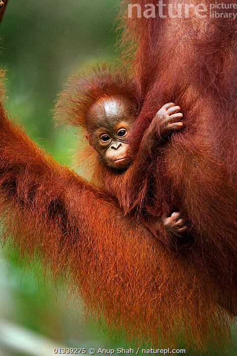 Bornean Orangutan (Pongo pygmaeus wurmbii) baby aged 2-3 months belonging to Tata not yet named. Camp Leakey, Tanjung Puting National Park, Central Kalimantan, Borneo, Indonesia. June 2010. Rehabilitated and released (or descended from) between 1971 and 1995.  ,  ASIA,CONSERVATION,CUTE,ENDANGERED,GREAT APES,INDONESIA,MAMMALS,MOTHER BABY,NP,ORANGUTAN,PARENTAL,PRIMATES,RESERVE,SOUTH EAST ASIA,TROPICAL RAINFOREST,VERTICAL,National Park  ,  Anup Shah