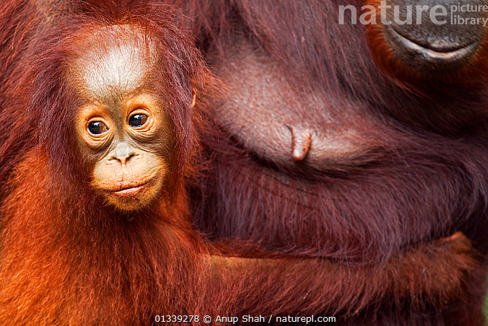 Bornean Orangutan (Pongo pygmaeus wurmbii) female baby 'Gita' aged 2 years holding on to her mother 'Gara'. Camp Leakey, Tanjung Puting National Park, Central Kalimantan, Borneo, Indonesia. June 2010. Rehabilitated and released (or descended from) between 1971 and 1995.  ,  ASIA,CONSERVATION,ENDANGERED,EXPRESSIONS,GREAT APES,INDONESIA,MAMMALS,MOTHER BABY,NP,ORANGUTAN,PRIMATES,RESERVE,SOUTH EAST ASIA,TROPICAL RAINFOREST,National Park  ,  Anup Shah