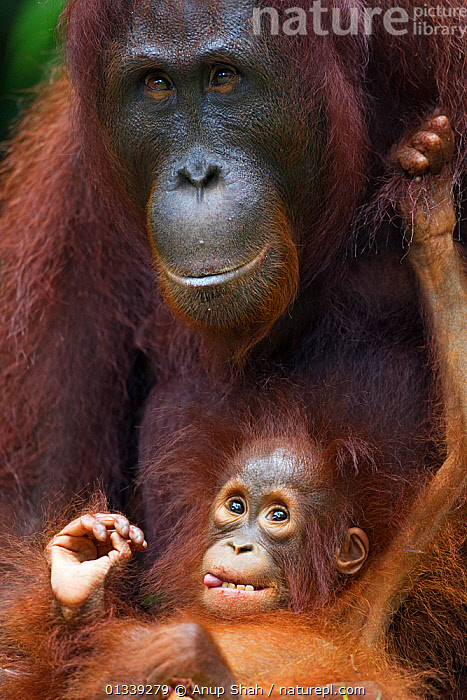 Bornean Orangutan (Pongo pygmaeus wurmbii) female 'Peta' with her playful daughter 'Petra' aged 12 months. Camp Leakey, Tanjung Puting National Park, Central Kalimantan, Borneo, Indonesia. June 2010. Rehabilitated and released (or descended from) between 1971 and 1995.  ,  ASIA,CONSERVATION,ENDANGERED,GREAT APES,HUMOROUS,INDONESIA,MAMMALS,MOTHER BABY,NP,ORANGUTAN,PARENTAL,PORTRAITS,PRIMATES,RESERVE,SOUTH EAST ASIA,TROPICAL RAINFOREST,VERTICAL,Concepts,National Park  ,  Anup Shah