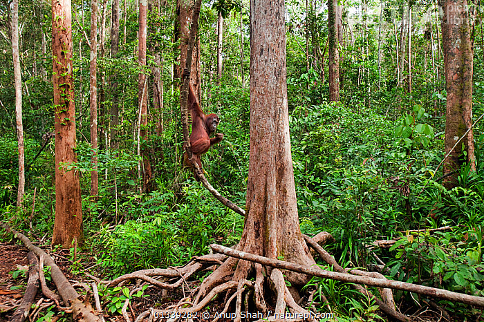 Bornean Orangutan (Pongo pygmaeus wurmbii) female 'Rani' hanging from a liana - wide angle perspective. Camp Leakey, Tanjung Puting National Park, Central Kalimantan, Borneo, Indonesia. June 2010. Rehabilitated and released (or descended from) between 1971 and 1995.  ,  ASIA,BEHAVIOUR,CLIMBING,CONSERVATION,ENDANGERED,FORESTS,GREAT APES,HABITAT,INDONESIA,MAMMALS,NP,ORANGUTAN,PRIMATES,RESERVE,SOUTH EAST ASIA,TROPICAL RAINFOREST,National Park  ,  Anup Shah
