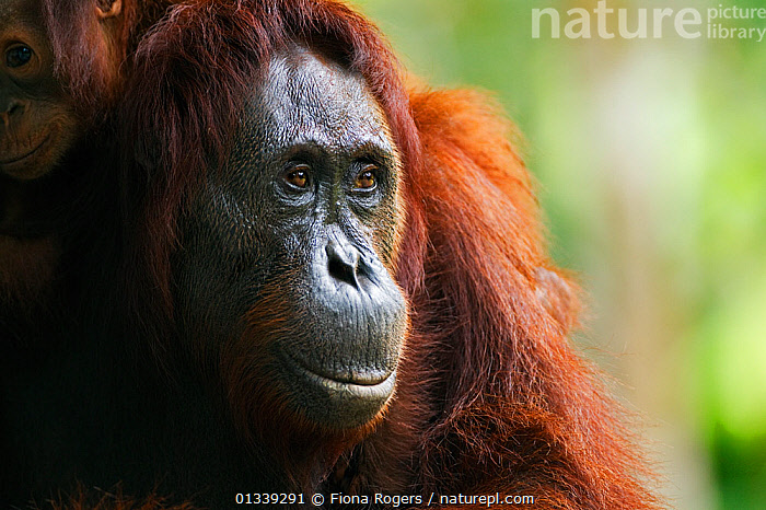Bornean Orang-utan (Pongo pygmaeus wurmbii) female 'Gara' portrait. Camp Leakey, Tanjung Puting National Park, Central Kalimantan, Borneo, Indonesia, June 2010. Rehabilitated and released between 1971 and 1995, or descended from such ancestors.  ,  ASIA,ENDANGERED,EXPRESSIONS,FACES,GREAT APES,INDONESIA,MAMMALS,NP,ORANGUTAN,PORTRAITS,PRIMATES,PROFILE,RESERVE,SOUTH EAST ASIA,TROPICAL RAINFOREST,National Park  ,  Fiona Rogers
