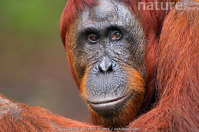 Bornean Orang-utan (Pongo pygmaeus wurmbii) mature female 'Tutut' head portrait. Camp Leakey, Tanjung Puting National Park, Central Kalimantan, Borneo, Indonesia, June 2010. Rehabilitated and released between 1971 and 1995, or descended from such ancestors.  ,  ASIA,ENDANGERED,FACES,GREAT APES,HEADS,INDONESIA,LOOKING AT CAMERA,MAMMALS,NP,ORANGUTAN,PORTRAITS,PRIMATES,RESERVE,SOUTH EAST ASIA,TROPICAL RAINFOREST,National Park  ,  Fiona Rogers