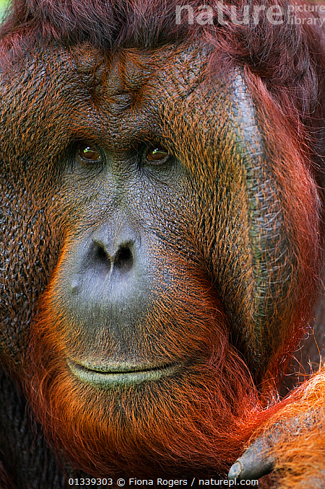 Bornean Orang-utan (Pongo pygmaeus wurmbii) mature male 'Tom' head portrait. Camp Leakey, Tanjung Puting National Park, Central Kalimantan, Borneo, Indonesia, June 2010. Rehabilitated and released between 1971 and 1995, or descended from such ancestors.  ,  ASIA,ENDANGERED,EXPRESSIONS,FACES,FULL FRAME,GREAT APES,HEADS,INDONESIA,MALES,MAMMALS,NP,ORANGUTAN,PORTRAITS,PRIMATES,RESERVE,SOUTH EAST ASIA,TROPICAL RAINFOREST,VERTICAL,National Park  ,  Fiona Rogers